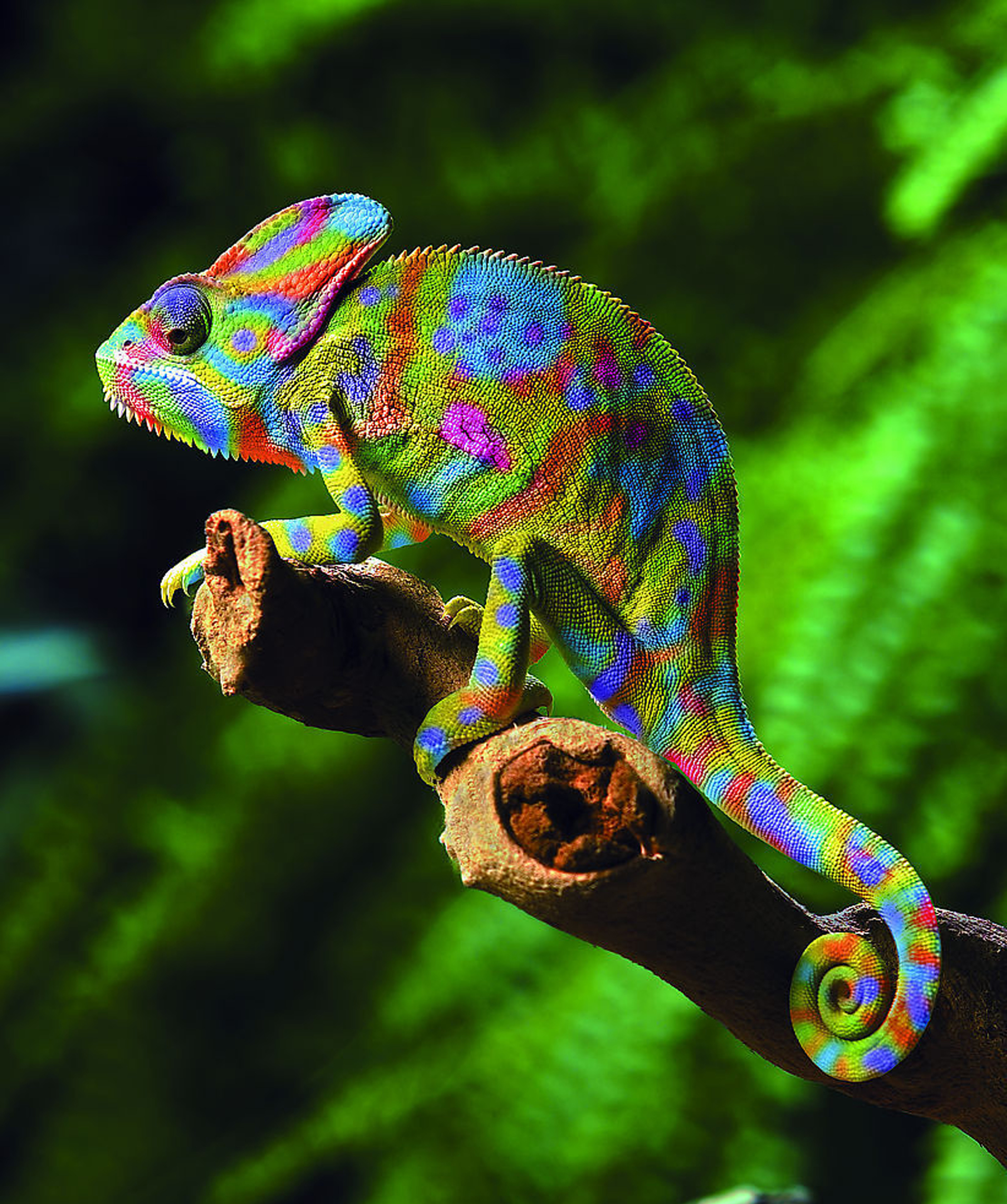 Chameleon Random Photographs And Video Chameleon Web